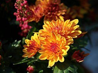 chrysanthemums-2793019__340